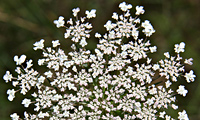 Queen Anne's Lace ©John Inglis